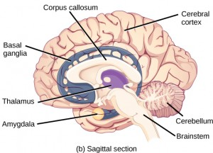 An image of the brain with a few sections labeled.