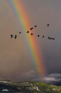 Photo of flock of birds flying through rainbow